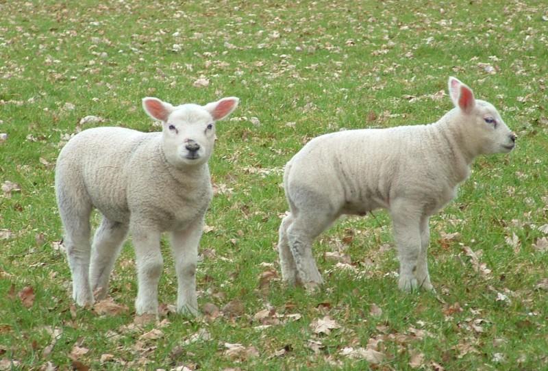 English wool