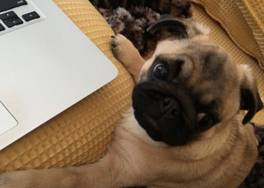 pug author assistant